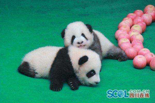 其中,熊猫基地园区内5胎7仔,成活7仔;德国柏林动物园1胎2仔,成活2仔图片