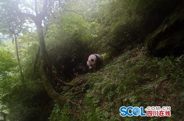 大熊猫宝宝又出山,对镜卖萌憨态可掬