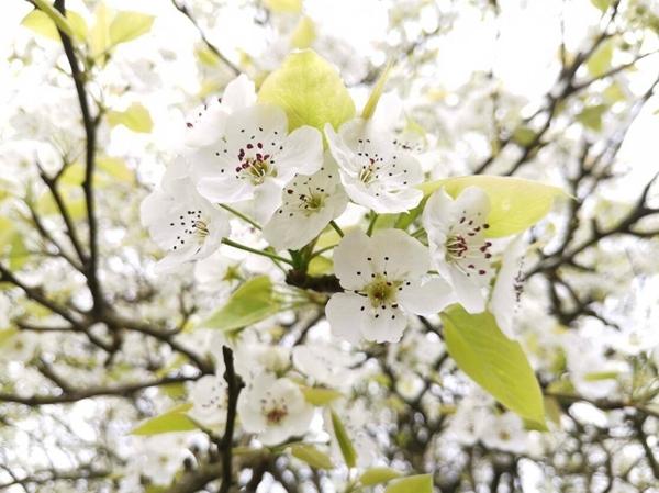 云赏花!看泸州百年梨园梨花白 520亩李花正盛开