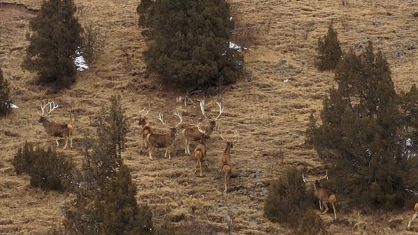 视频|野生白唇鹿群现身石渠雪山 张张都是大片!