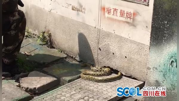 视频丨1.5米长大花蛇成都街头晒太阳 市民围观