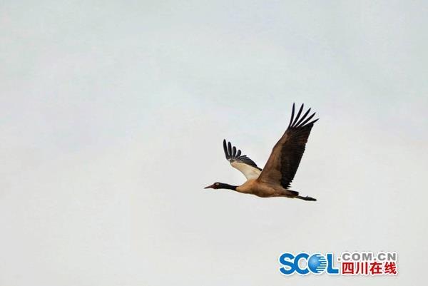 视频∣首批10余只黑颈鹤飞回高原,与牦牛和赤麻鸭和谐安家草原湿地