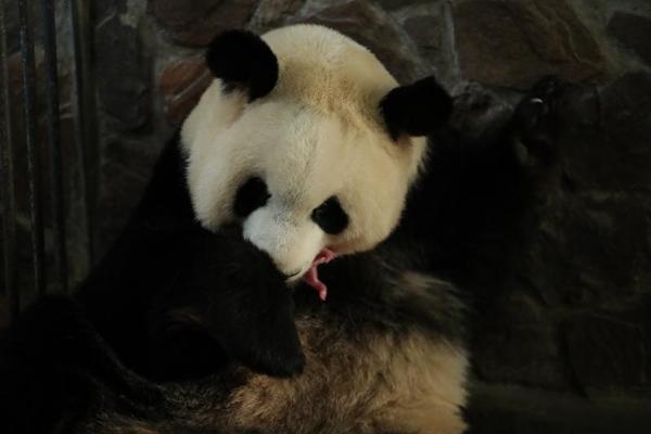 有记录以来最早出生的小熊友!2020年全球首对圈养大熊猫双胞胎诞生