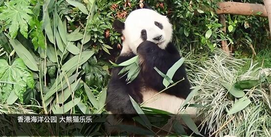 赠港大熊猫盈盈乐乐首次成功自然交配