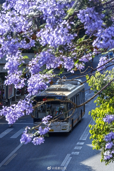 捕捉蓝色浪漫!成都街头蓝花楹进入盛花期,公交打卡攻略送给你