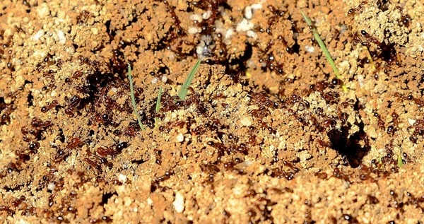 红火蚁入侵攀枝花局地,群体攻击性较强,看到请远离!