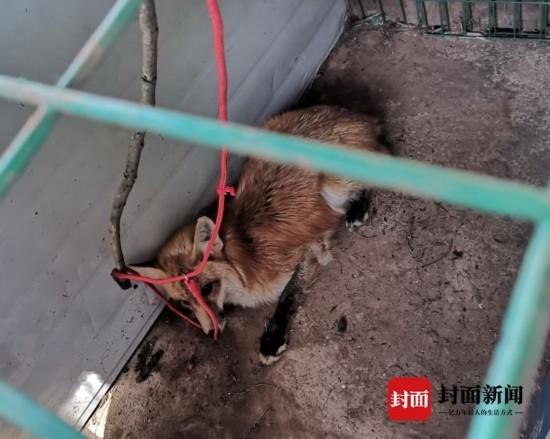 """狐狸""""吃鸡""""被逮了个现行 民警将它擒送野保救护站"""