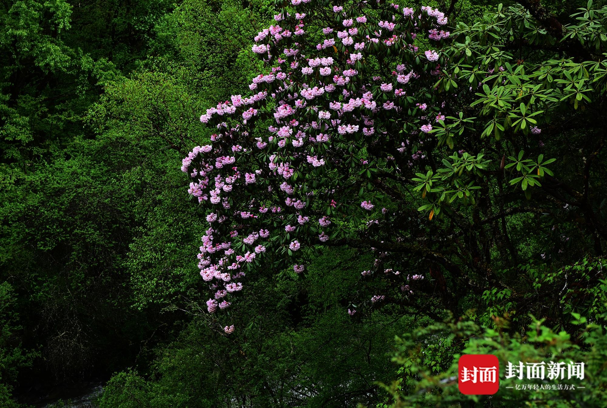 雅安市夹金山:山中五月天 杜鹃花开映山红