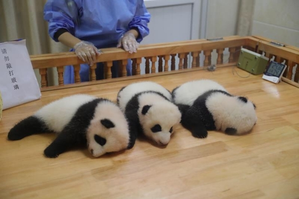 """大熊猫""""热干面""""""""蛋烘糕""""的干爹干妈,今天来认亲啦"""